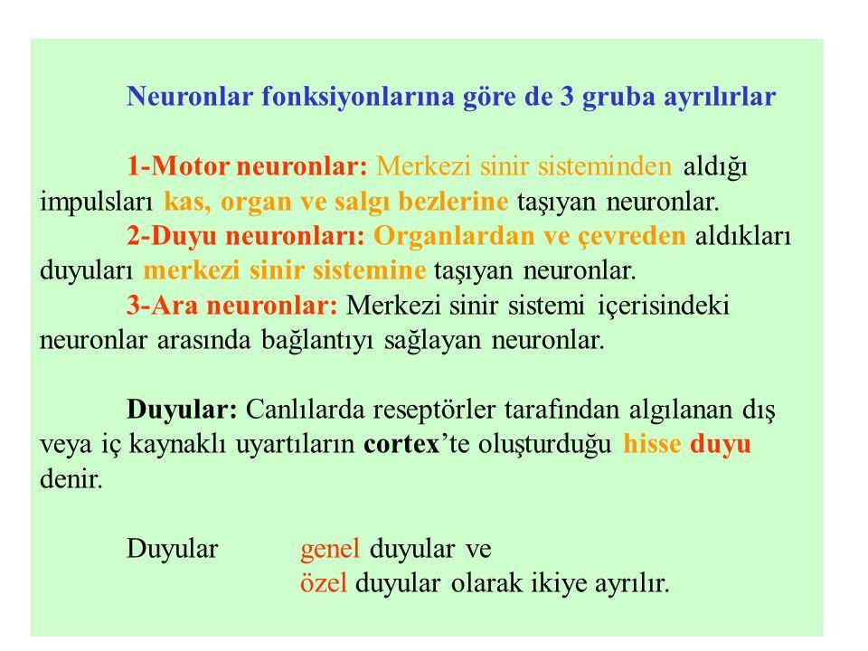 Genel duyular: Genel duyular da kendi arasında yüzeyel, derin ve visseral duyular diye üçe ayrılır.