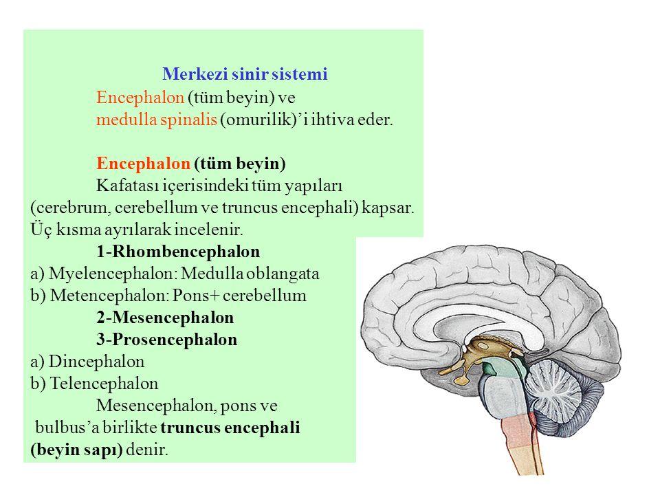 Merkezi sinir sistemi Encephalon (tüm beyin) ve medulla spinalis (omurilik)'i ihtiva eder. Encephalon (tüm beyin) Kafatası içerisindeki tüm yapıları (