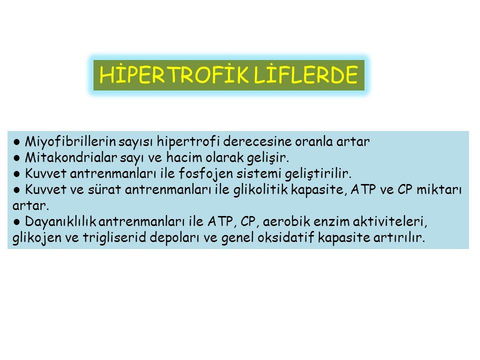 HİPERTROFİK LİFLERDE ● Miyofibrillerin sayısı hipertrofi derecesine oranla artar ● Mitakondrialar sayı ve hacim olarak gelişir.