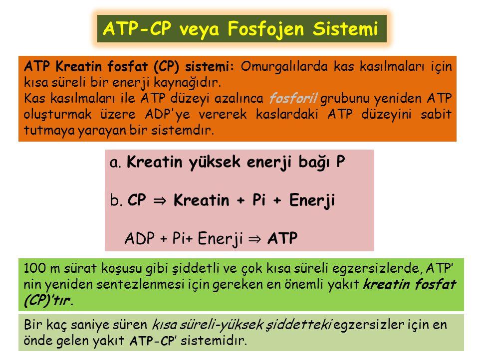 ATP Kreatin fosfat (CP) sistemi: Omurgalılarda kas kasılmaları için kısa süreli bir enerji kaynağıdır.