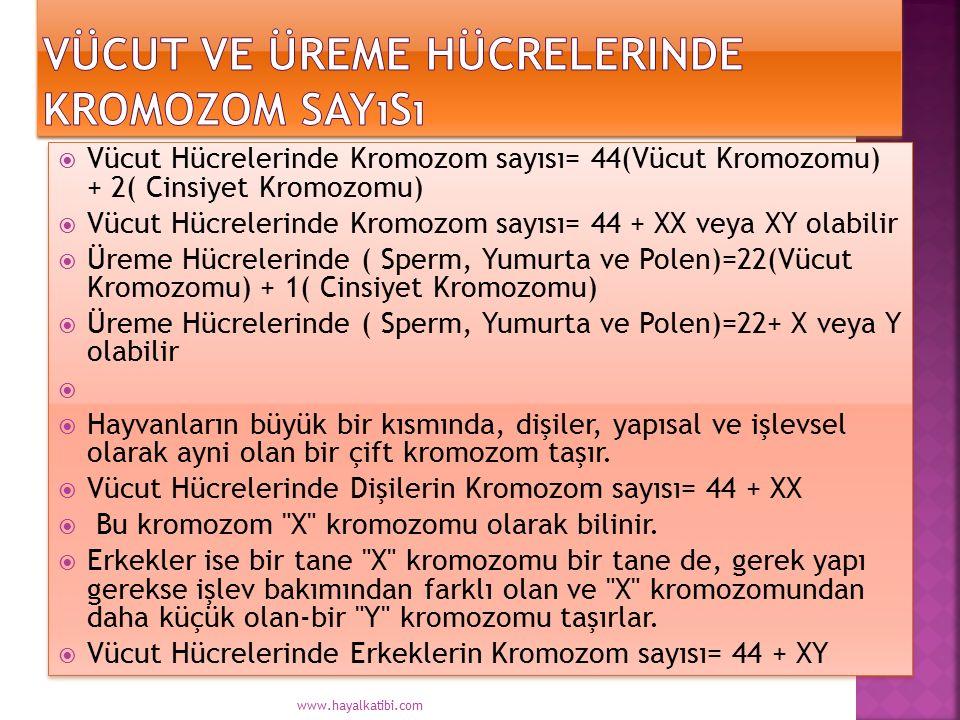  Vücut Hücrelerinde Kromozom sayısı= 44(Vücut Kromozomu) + 2( Cinsiyet Kromozomu)  Vücut Hücrelerinde Kromozom sayısı= 44 + XX veya XY olabilir  Üreme Hücrelerinde ( Sperm, Yumurta ve Polen)=22(Vücut Kromozomu) + 1( Cinsiyet Kromozomu)  Üreme Hücrelerinde ( Sperm, Yumurta ve Polen)=22+ X veya Y olabilir   Hayvanların büyük bir kısmında, dişiler, yapısal ve işlevsel olarak ayni olan bir çift kromozom taşır.