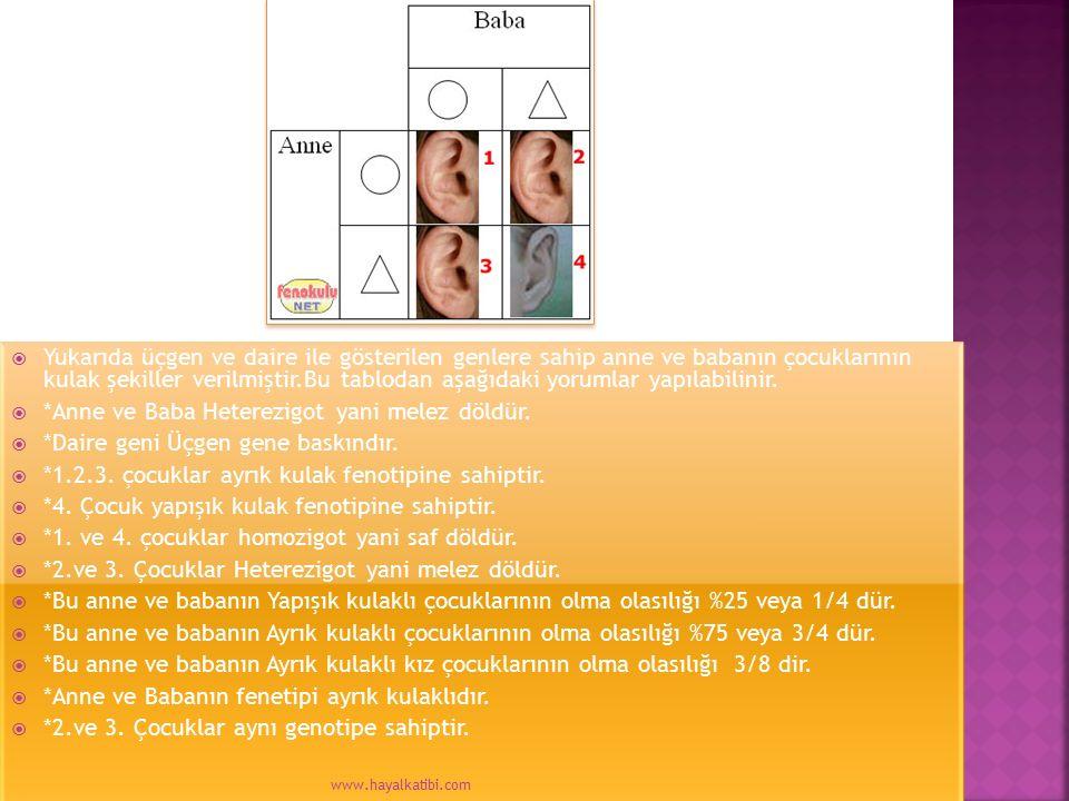  Yukarıda üçgen ve daire ile gösterilen genlere sahip anne ve babanın çocuklarının kulak şekiller verilmiştir.Bu tablodan aşağıdaki yorumlar yapılabi