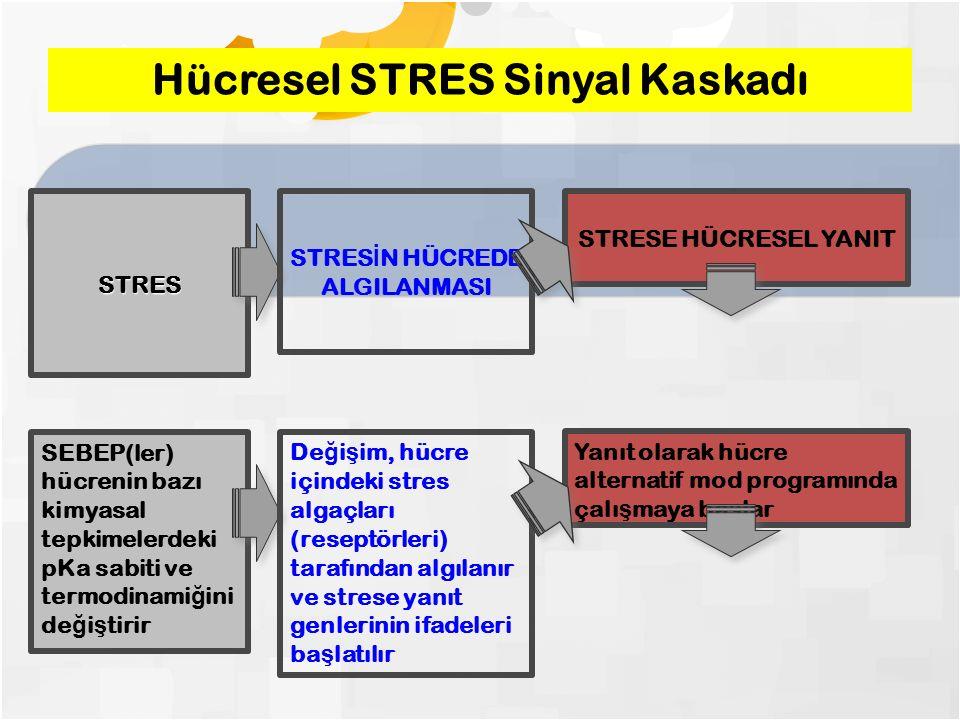 STRES STRES İ N HÜCREDE ALGILANMASI STRESE HÜCRESEL YANIT Hücresel STRES Sinyal Kaskadı SEBEP(ler) hücrenin bazı kimyasal tepkimelerdeki pKa sabiti ve termodinami ğ ini de ğ i ş tirir De ğ i ş im, hücre içindeki stres algaçları (reseptörleri) tarafından algılanır ve strese yanıt genlerinin ifadeleri ba ş latılır Yanıt olarak hücre alternatif mod programında çalı ş maya ba ş lar