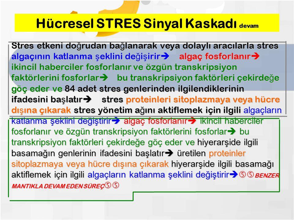 Hücresel STRES Sinyal Kaskadı devam Stres etkeni do ğ rudan ba ğ lanarak veya dolaylı aracılarla stres algaçının katlanma ş eklini de ğ i ş irir  algaç fosforlanır  ikincil haberciler fosforlanır ve özgün transkripsiyon faktörlerini fosforlar  bu transkripsiyon faktörleri çekirde ğ e göç eder ve 84 adet stres genlerinden ilgilendiklerinin ifadesini ba ş latır  stres proteinleri sitoplazmaya veya hücre dı ş ına çıkarak stres yönetim a ğ ını aktiflemek için ilgili algaçların katlanma şeklini değiştirir  algaç fosforlanır  ikincil haberciler fosforlanır ve özgün transkripsiyon faktörlerini fosforlar  bu transkripsiyon faktörleri çekirdeğe göç eder ve hiyerarşide ilgili basamağın genlerinin ifadesini başlatır  üretilen proteinler sitoplazmaya veya hücre dışına çıkarak hiyerarşide ilgili basamağı aktiflemek için ilgili algaçların katlanma şeklini değiştirir  BENZER MANTIKLA DEVAM EDEN SÜREÇ 