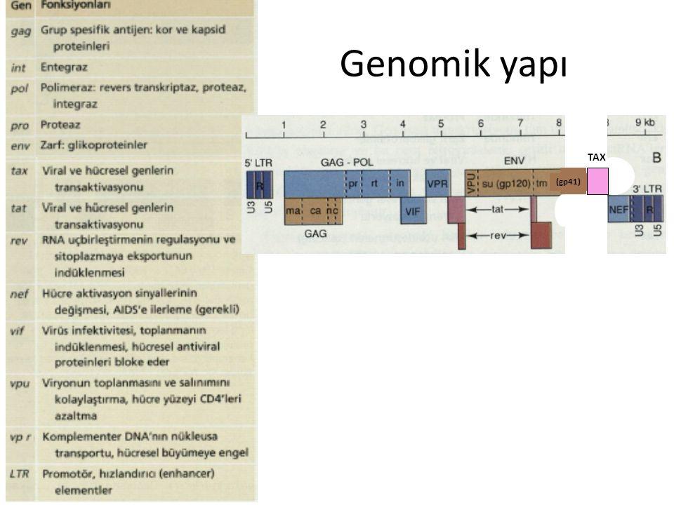 Genomik yapı (gp41) TAX