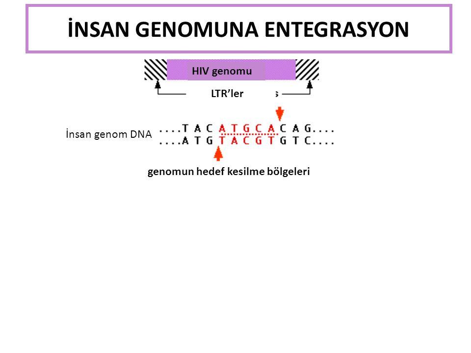 AZT ilacı viral genom polimerizasyonunu durdurur
