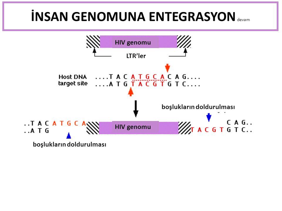 İNSAN GENOMUNA ENTEGRASYON devam HIV genomu LTR'ler boşlukların doldurulması