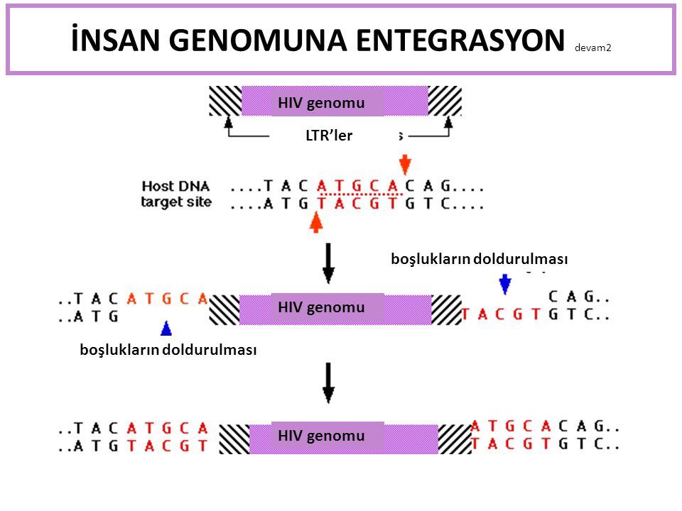 İNSAN GENOMUNA ENTEGRASYON devam2 HIV genomu LTR'ler boşlukların doldurulması