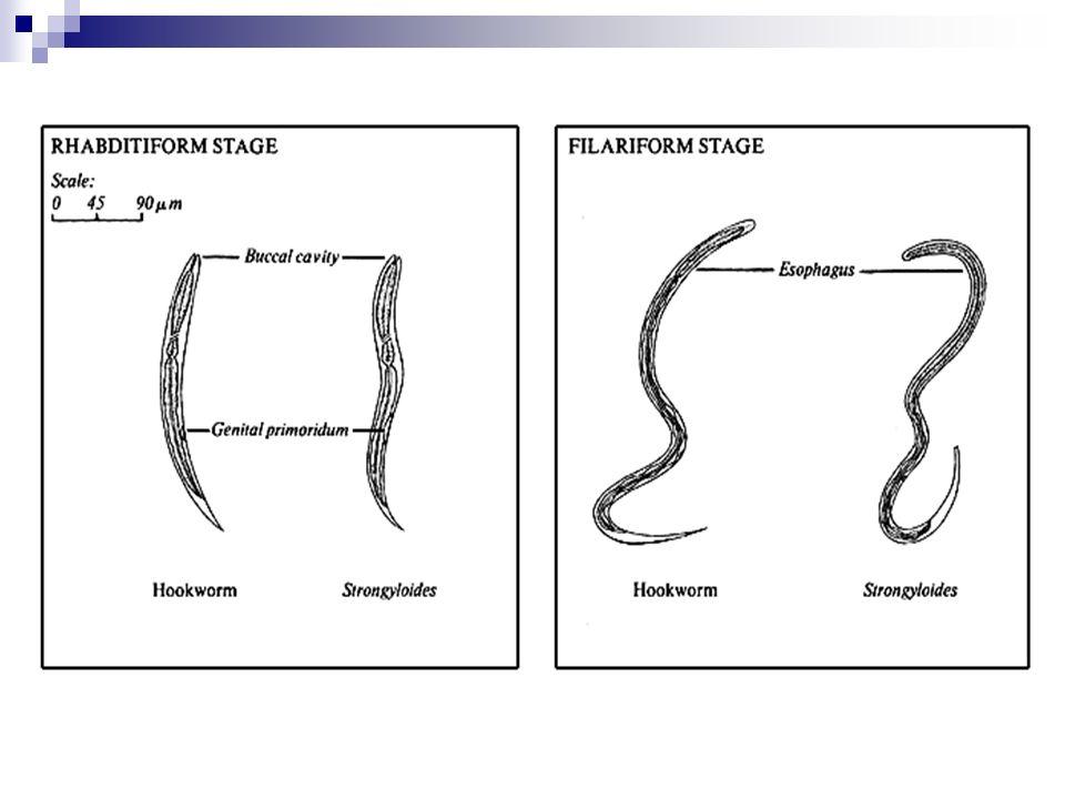 S.stercoralis Dışkı ile atılan larvalar koşullar uygunsa heterojenik tarzda, uygun değilse homojenik tazda yaşam döngüsü takibeder.