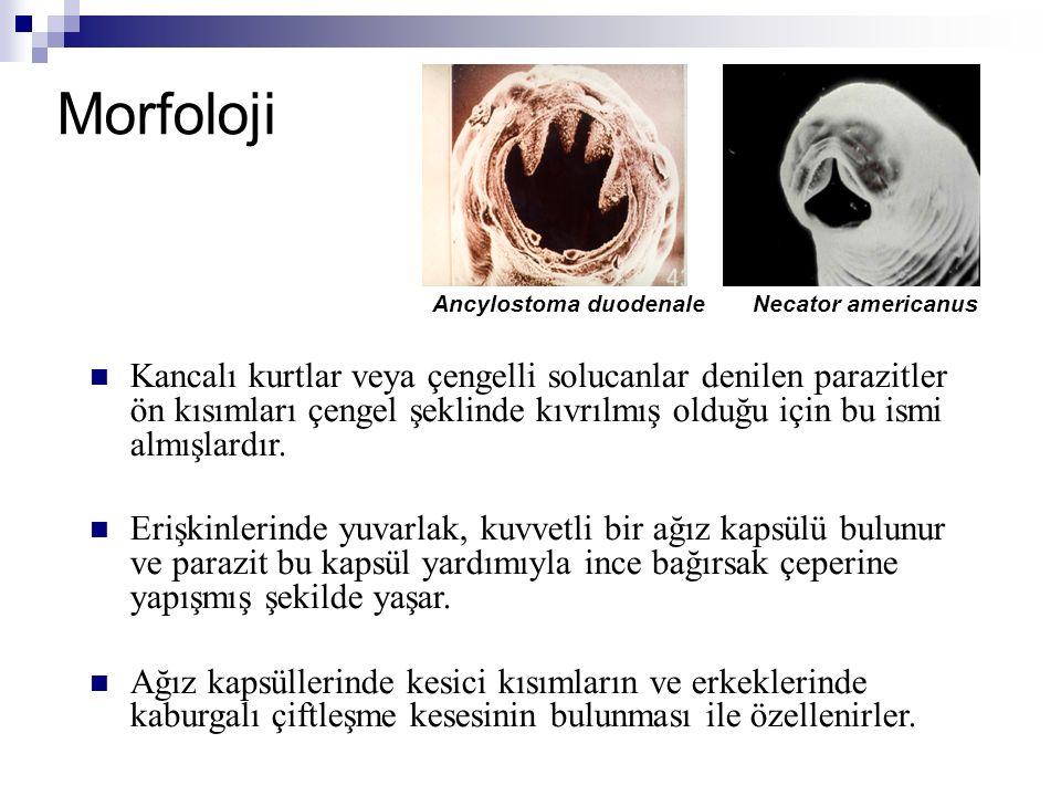 Morfoloji Kancalı kurtlar veya çengelli solucanlar denilen parazitler ön kısımları çengel şeklinde kıvrılmış olduğu için bu ismi almışlardır. Erişkinl