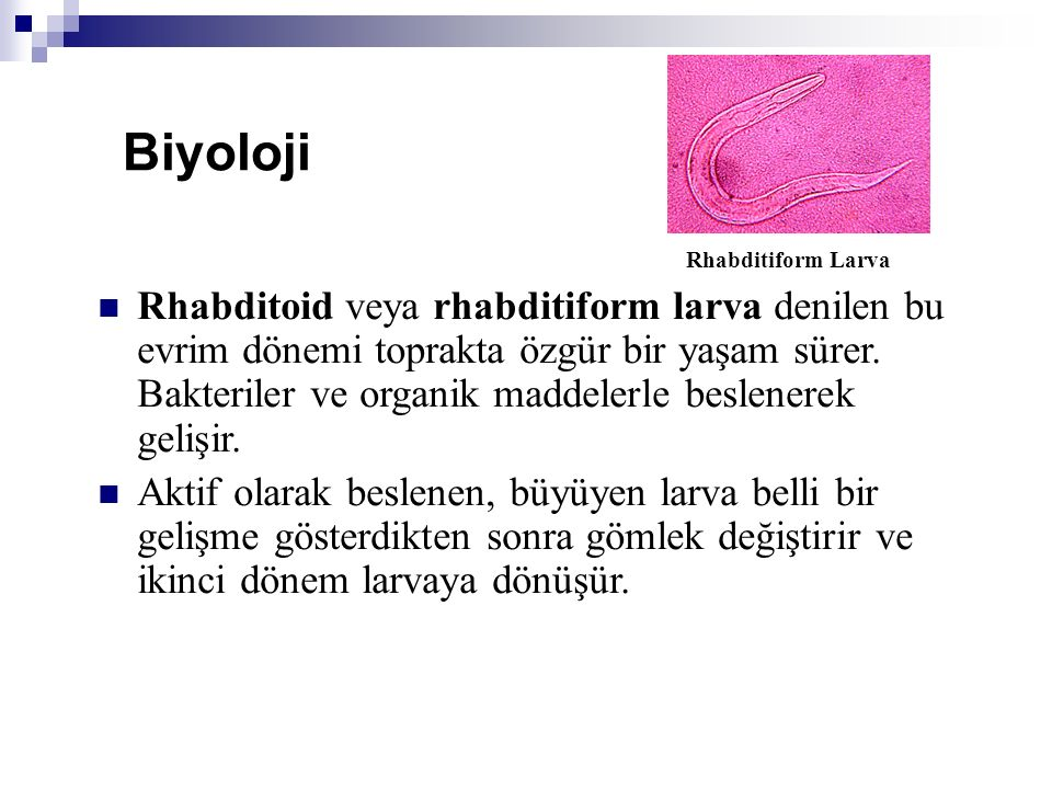 Rhabditoid veya rhabditiform larva denilen bu evrim dönemi toprakta özgür bir yaşam sürer. Bakteriler ve organik maddelerle beslenerek gelişir. Aktif