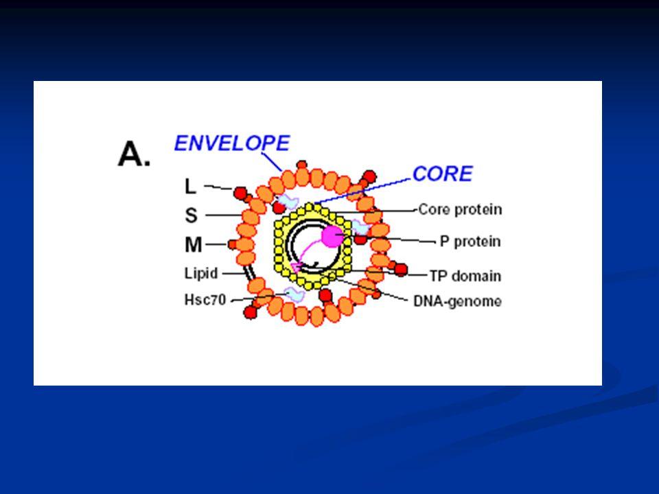 HBeAg neg hastalarda HBV DNA ve ALT değerleri oynaktır (fluctuation)
