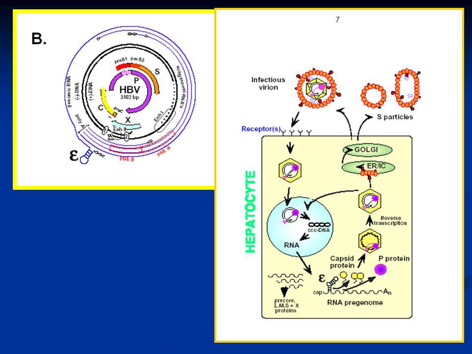 HBV precore mutant variant virüsü ile enfekte olanlarda: -- mRNA sentezi azalır -- HBeAg üretimi durur ve -- Viral replikasyonu devam eder; Bu hastalarda HBV DNA düzeyleri oynaktır (fluctuation)