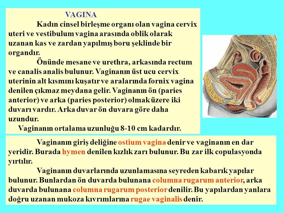 VAGINA Kadın cinsel birleşme organı olan vagina cervix uteri ve vestibulum vagina arasında oblik olarak uzanan kas ve zardan yapılmış boru şeklinde bir organdır.