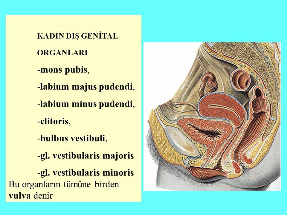 KADIN DIŞ GENİTAL ORGANLARI -mons pubis, -labium majus pudendi, -labium minus pudendi, -clitoris, -bulbus vestibuli, -gl.