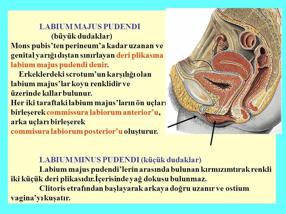 LABIUM MAJUS PUDENDI (büyük dudaklar) Mons pubis'ten perineum'a kadar uzanan ve genital yarığı dıştan sınırlayan deri plikasına labium majus pudendi denir.