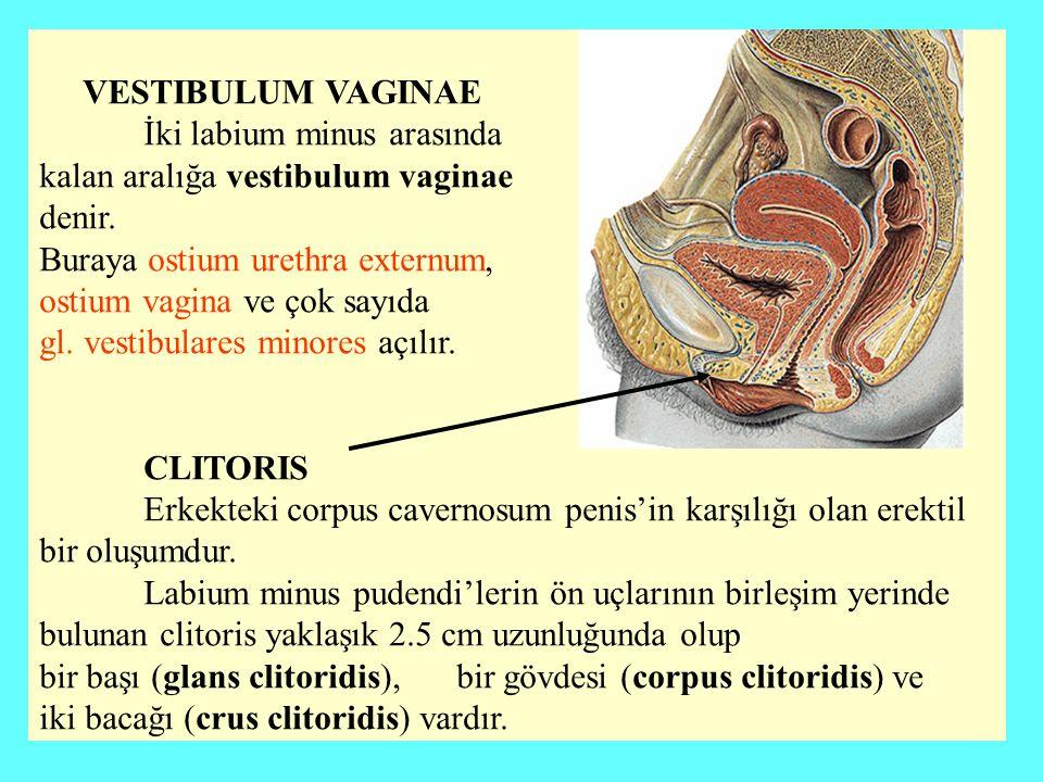 VESTIBULUM VAGINAE İki labium minus arasında kalan aralığa vestibulum vaginae denir.