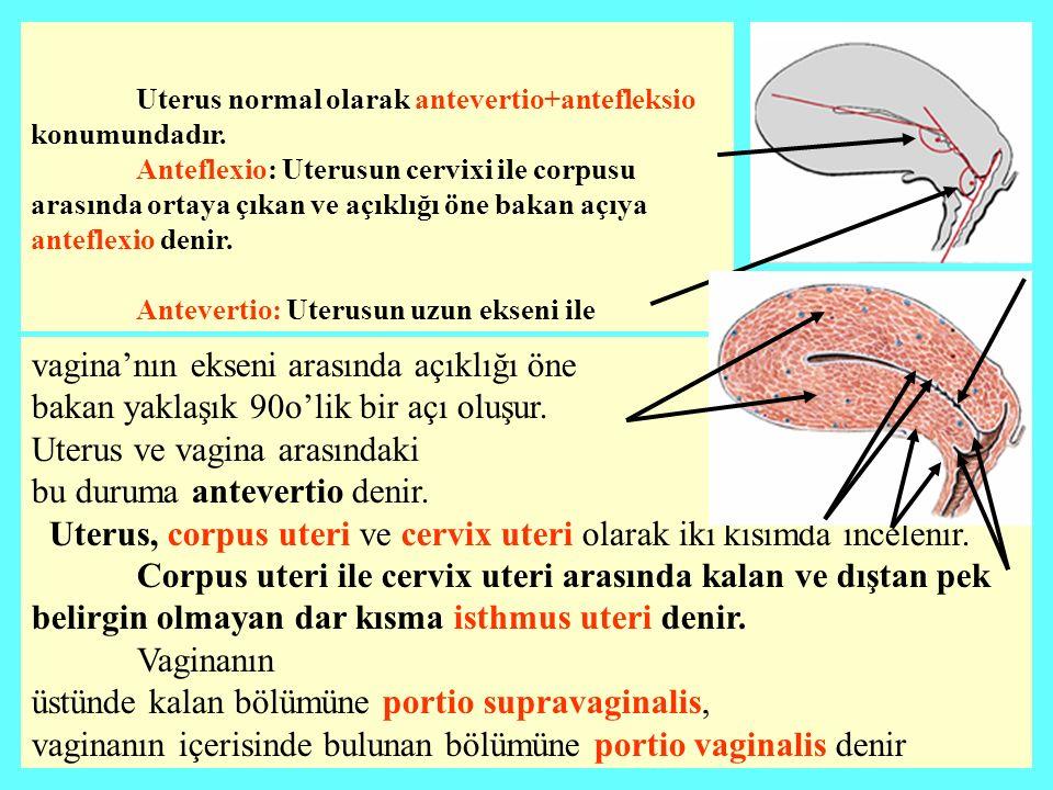 İki meme arasındaki oluğa sulcus mammarium Memenin büyük kitlesine corpus mammae denilir orta noktasındaki çıkıntıya papilla mammaria (meme başı) denir.