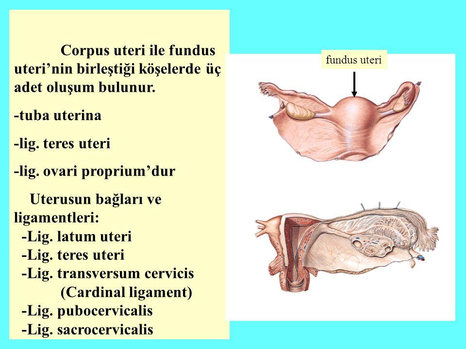 Corpus uteri ile fundus uteri'nin birleştiği köşelerde üç adet oluşum bulunur.