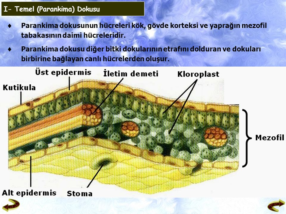  Parankima dokusunun hücreleri kök, gövde korteksi ve yaprağın mezofil tabakasının daimi hücreleridir.  Parankima dokusu diğer bitki dokularının etr