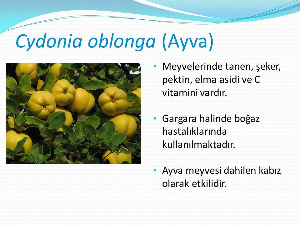 Cydonia oblonga (Ayva) Meyvelerinde tanen, şeker, pektin, elma asidi ve C vitamini vardır.