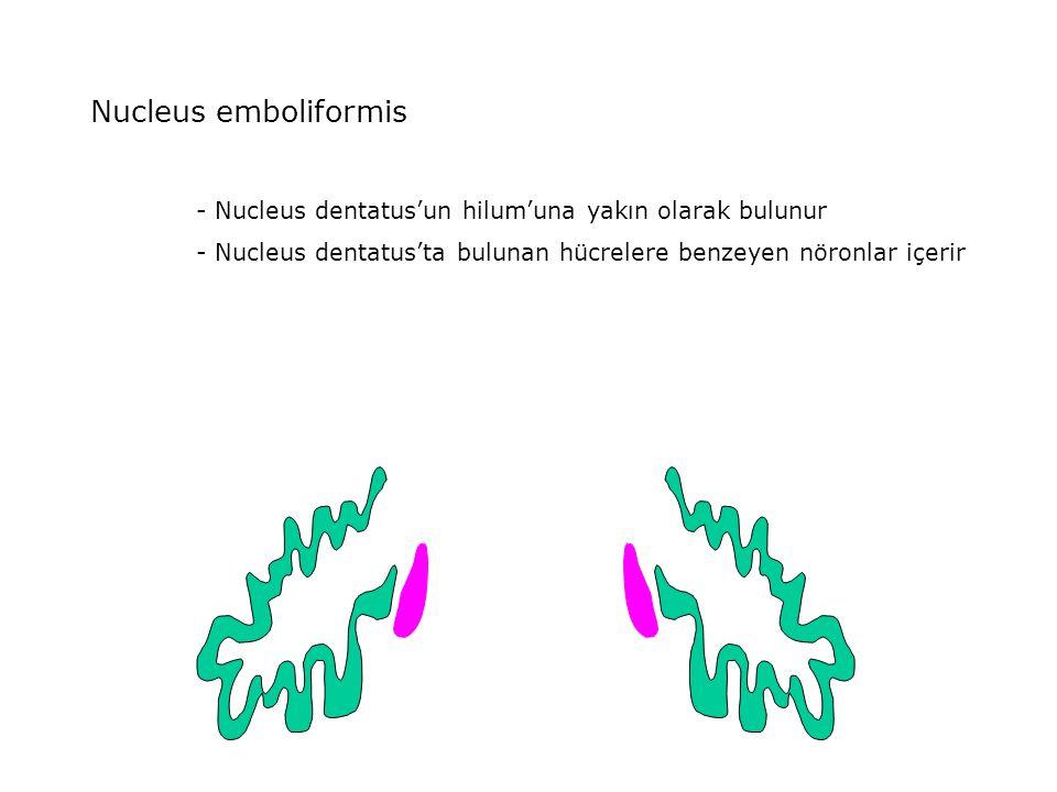 Nucleus emboliformis - Nucleus dentatus'un hilum'una yakın olarak bulunur - Nucleus dentatus'ta bulunan hücrelere benzeyen nöronlar içerir