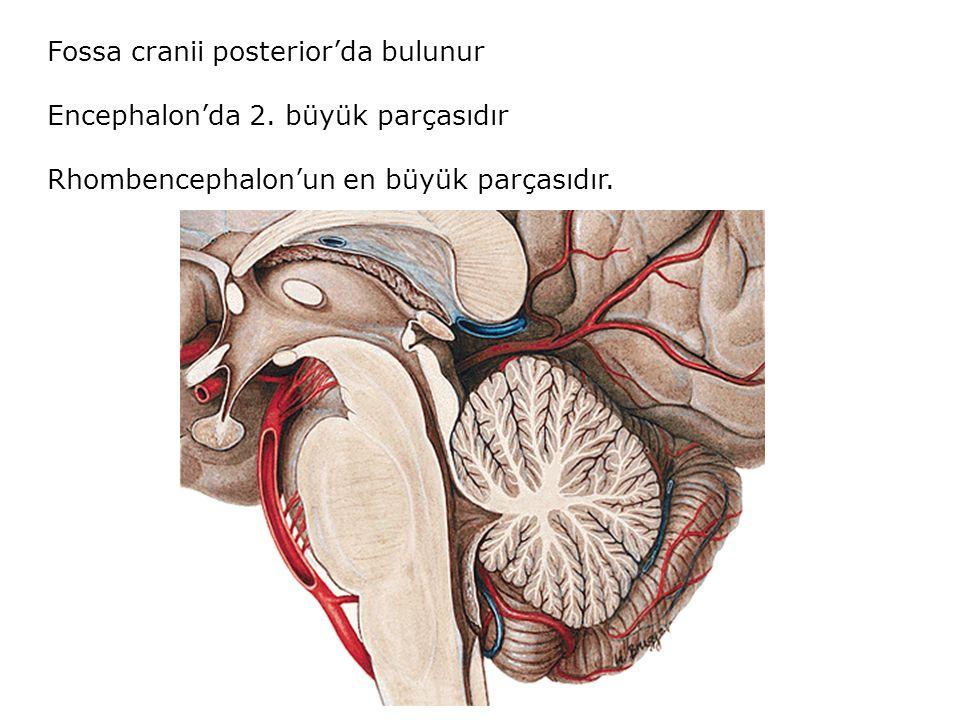 Fossa cranii posterior'da bulunur Encephalon'da 2. büyük parçasıdır Rhombencephalon'un en büyük parçasıdır.