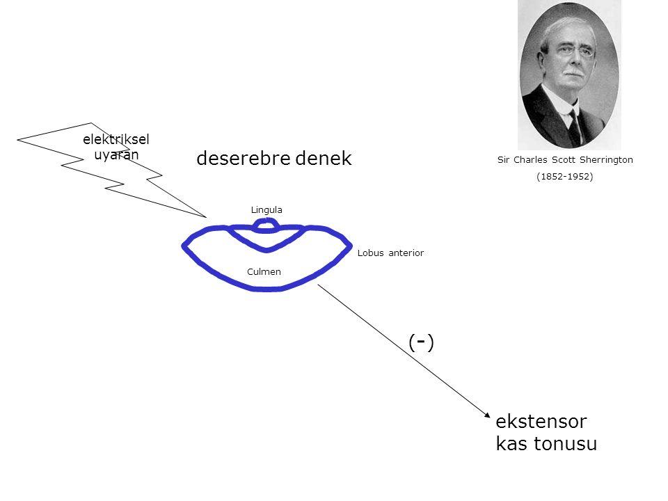 Lingula Culmen Lobus anterior elektriksel uyaran Sir Charles Scott Sherrington (1852-1952) ekstensor kas tonusu (-)(-) deserebre denek