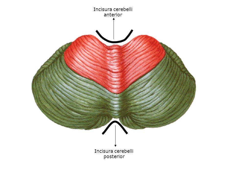 Archiocerebellum; Lobulus flocculonodularis, Lingula Vestibular sistem, Spinocerebellar lifler (iç kulaktaki denge organları, kas tonusu ayarlama ve vücut dengesini korumamıza yardım eder.) Paleocerebellum; Lobulus anterior'un bütün hemisfer kısımları; Lobulus centralis, Culmen, Pyramis,Uvula Spinocerebellar lifler,(Tr.