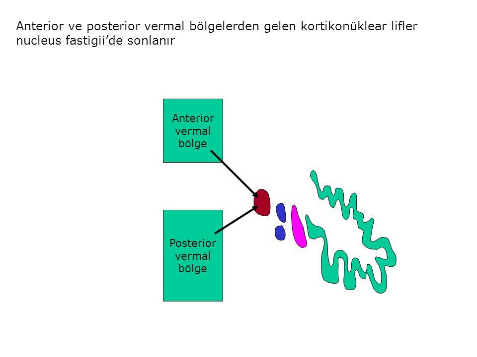 Anterior vermal bölge Posterior vermal bölge Anterior ve posterior vermal bölgelerden gelen kortikonüklear lifler nucleus fastigii'de sonlanır