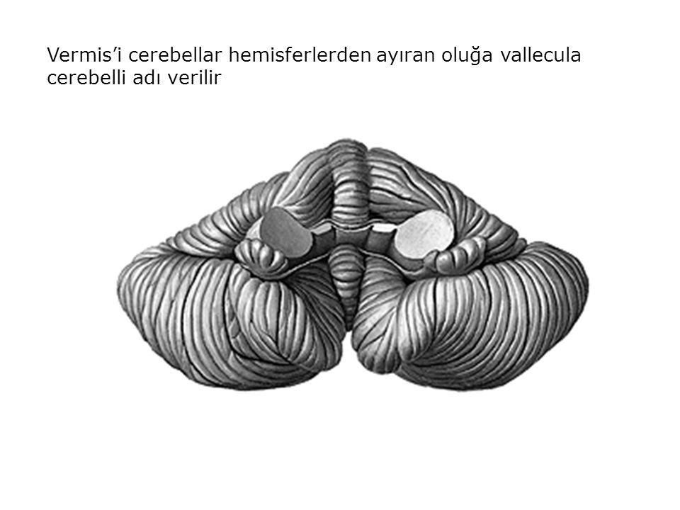 Anterior vermal bölge Posterior vermal bölge Paravermal korteks Paravermal korteksten gelen kortikonüklear lifler ise çoğunlukla nucleus globosus ve nucleus emboliformis'te sonlanır.