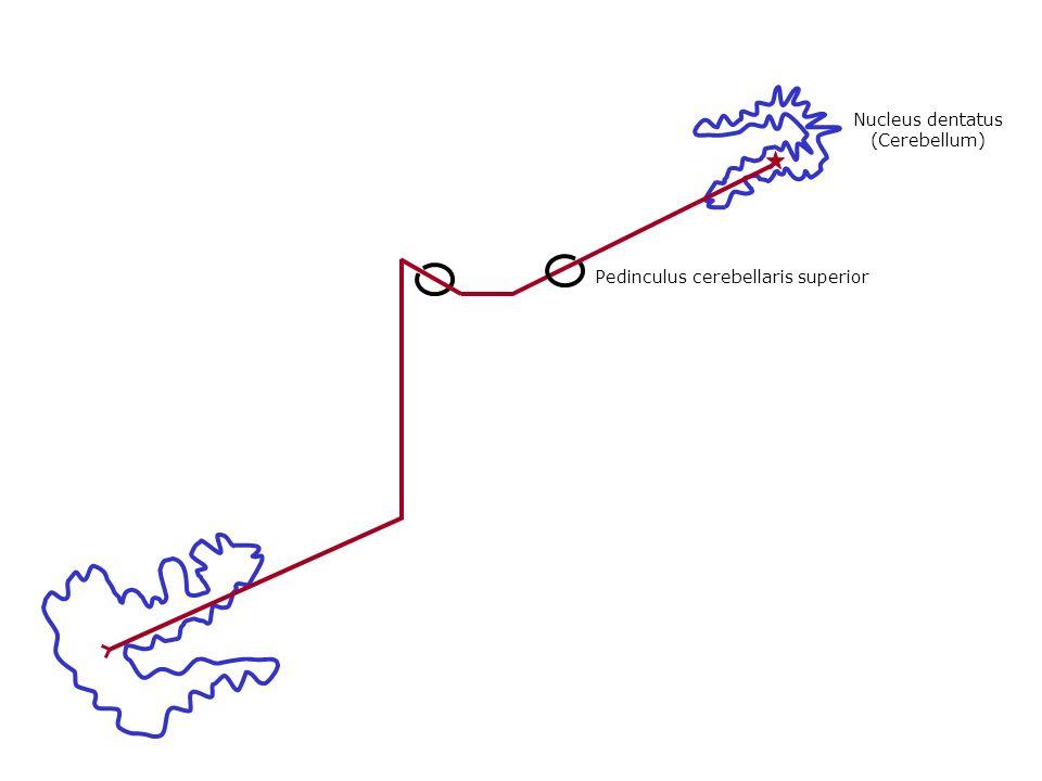Pedinculus cerebellaris superior Nucleus dentatus (Cerebellum)
