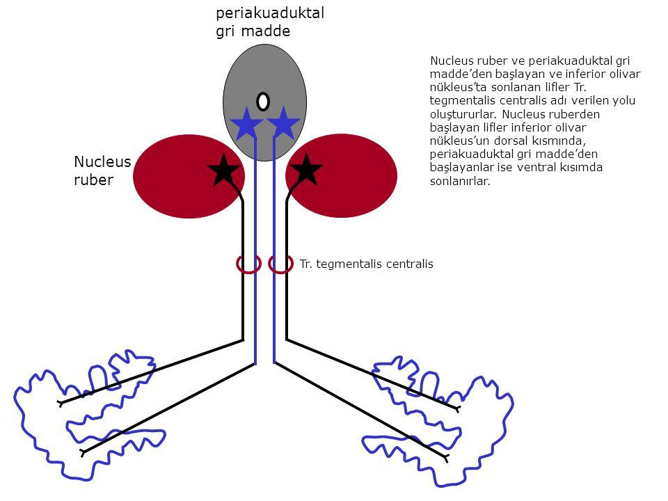 periakuaduktal gri madde Nucleus ruber Tr. tegmentalis centralis Nucleus ruber ve periakuaduktal gri madde'den başlayan ve inferior olivar nükleus'ta