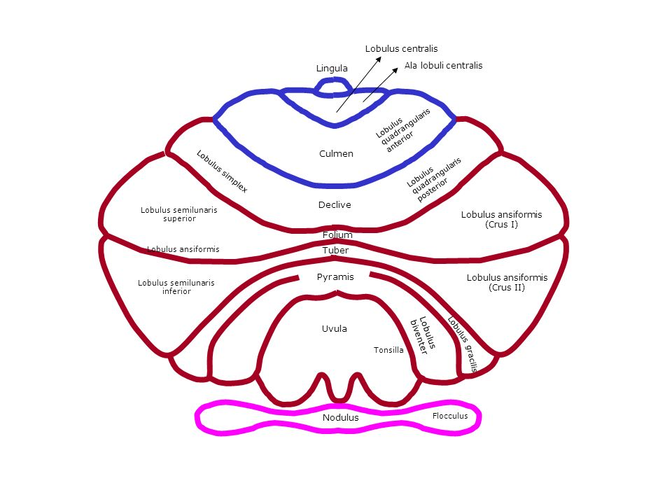 Lingula Lobulus centralis Ala lobuli centralis Culmen Lobulus quadrangularis anterior Declive Lobulus quadrangularis posterior Lobulus simplex Folium