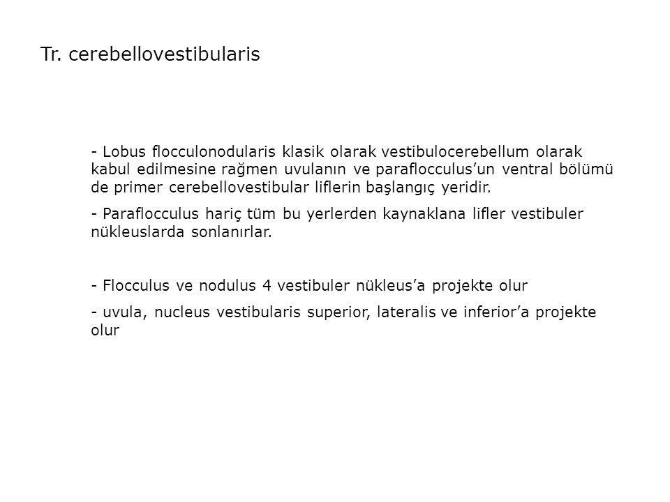 Tr. cerebellovestibularis - Lobus flocculonodularis klasik olarak vestibulocerebellum olarak kabul edilmesine rağmen uvulanın ve paraflocculus'un vent