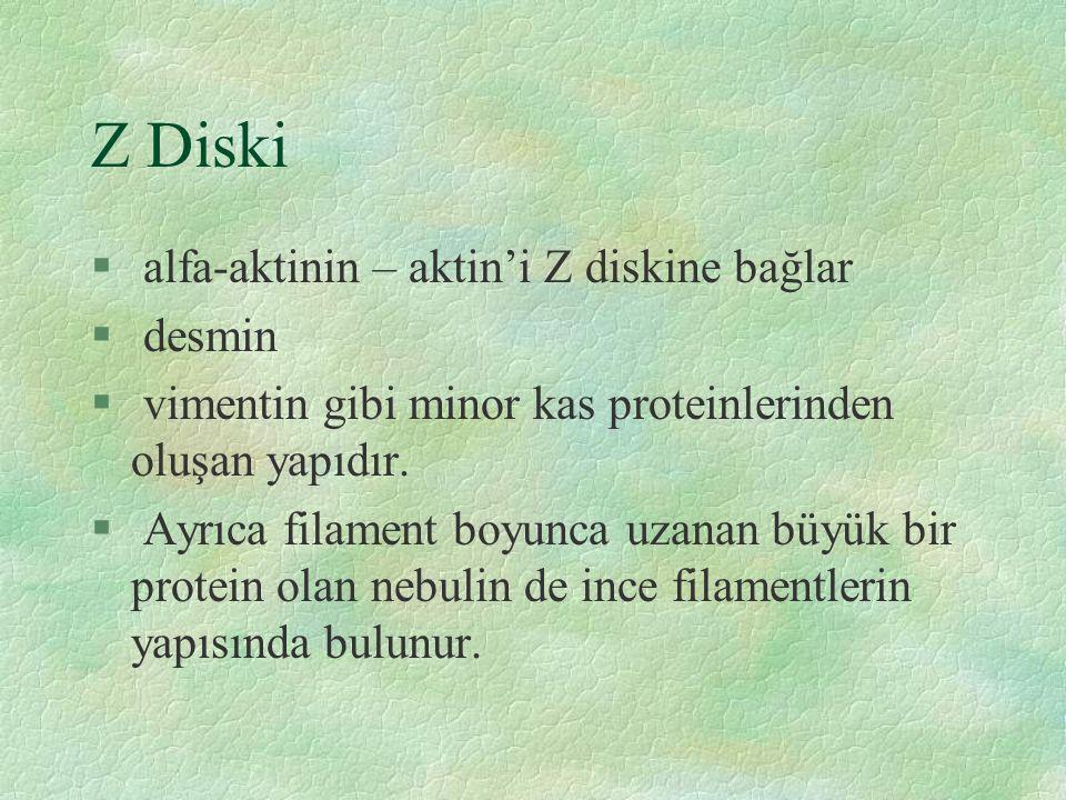 Z Diski § alfa-aktinin – aktin'i Z diskine bağlar § desmin § vimentin gibi minor kas proteinlerinden oluşan yapıdır.