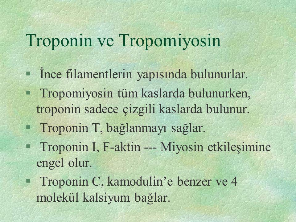 Troponin ve Tropomiyosin § İnce filamentlerin yapısında bulunurlar.