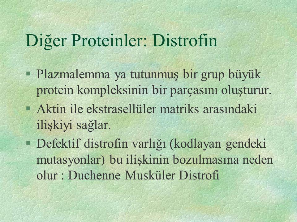 Diğer Proteinler: Distrofin §Plazmalemma ya tutunmuş bir grup büyük protein kompleksinin bir parçasını oluşturur.