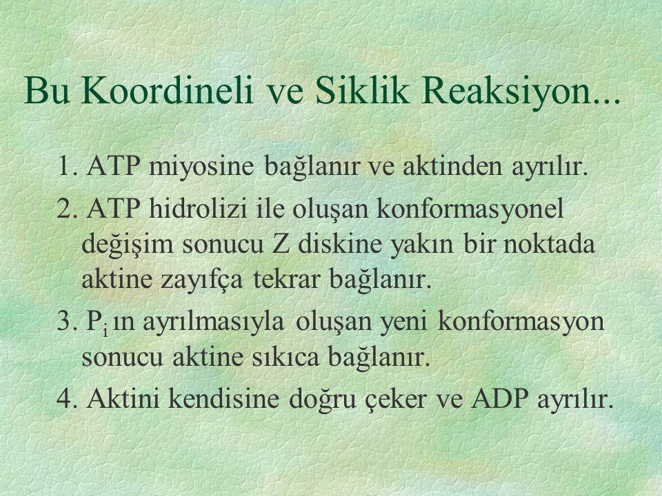 Bu Koordineli ve Siklik Reaksiyon... 1. ATP miyosine bağlanır ve aktinden ayrılır.