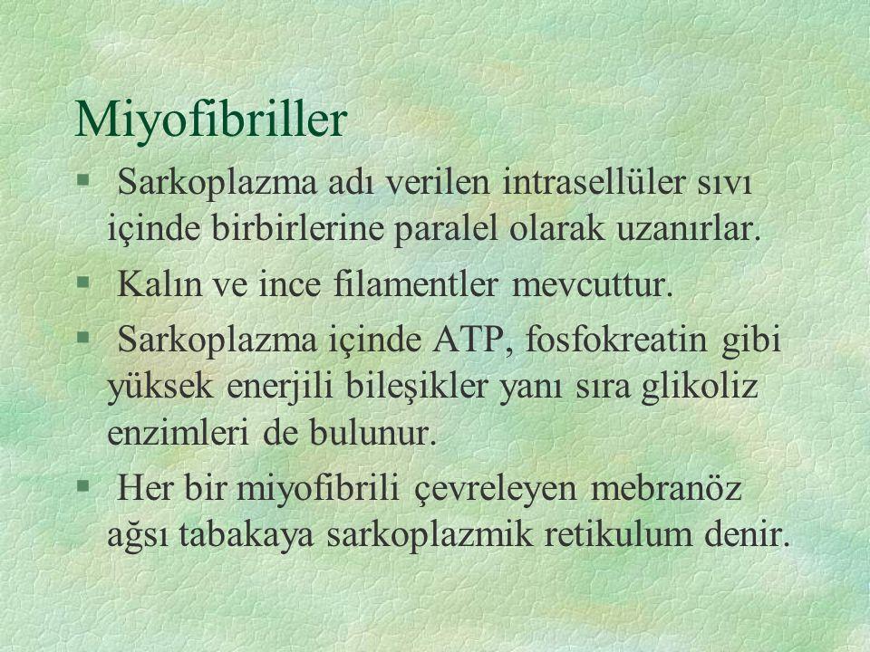 Miyofibriller § Sarkoplazma adı verilen intrasellüler sıvı içinde birbirlerine paralel olarak uzanırlar.