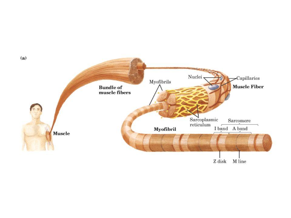 İZOENZİMLERİ §2 farklı polipeptid zinciri vardır l M (muscle) l H (heart) §4 subunitten oluşur §Subunit farklılıklarına göre 5 izoenzimi mevcuttur: l LD-1 (HHHH) l LD-2 (HHHM) l LD-3 (HHMM) l LD-4 (HMMM) l LD-5 (MMMM)