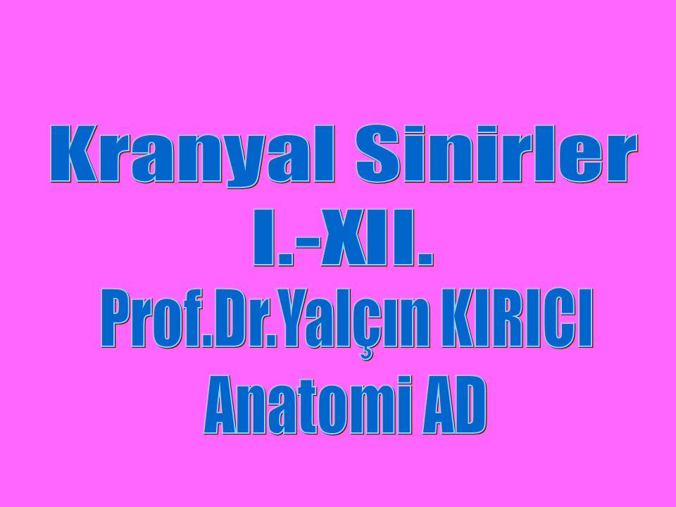 6-Özel(Special) Visseral Efferent (SVE); –Faringeal arkuslardan gelişen çizgili kasları innerve ederler (V-VII-IX-X-XI).