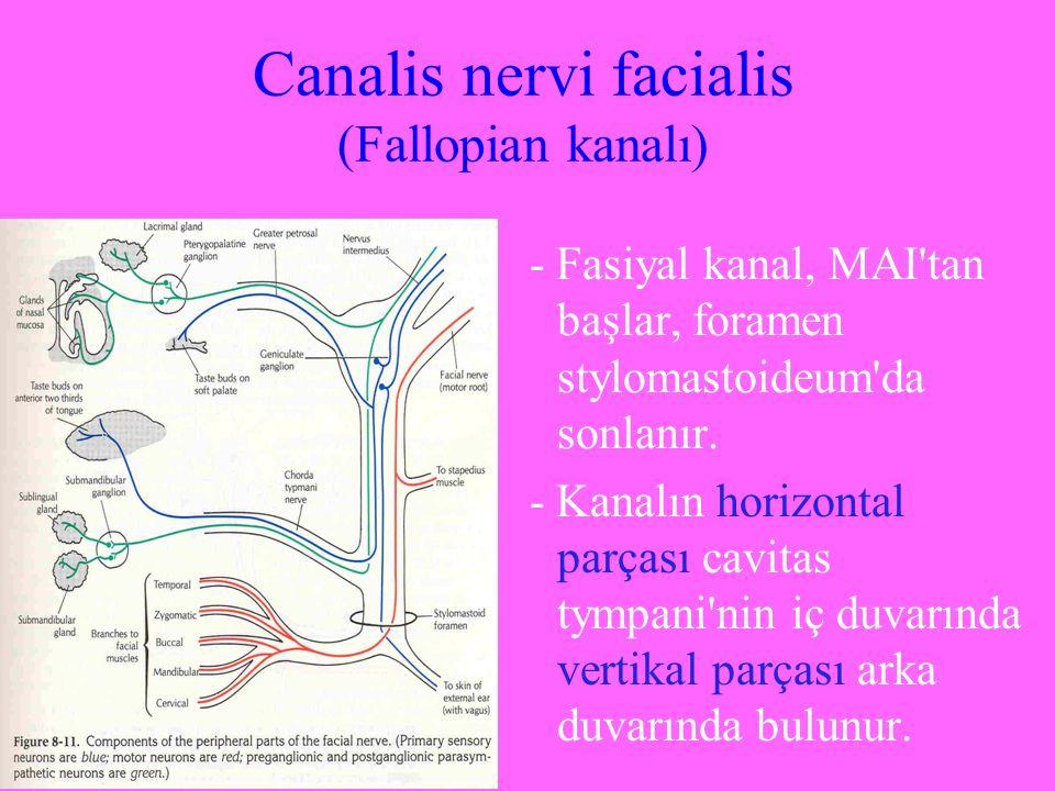 Canalis nervi facialis (Fallopian kanalı) - Fasiyal kanal, MAI'tan başlar, foramen stylomastoideum'da sonlanır. - Kanalın horizontal parçası cavitas t