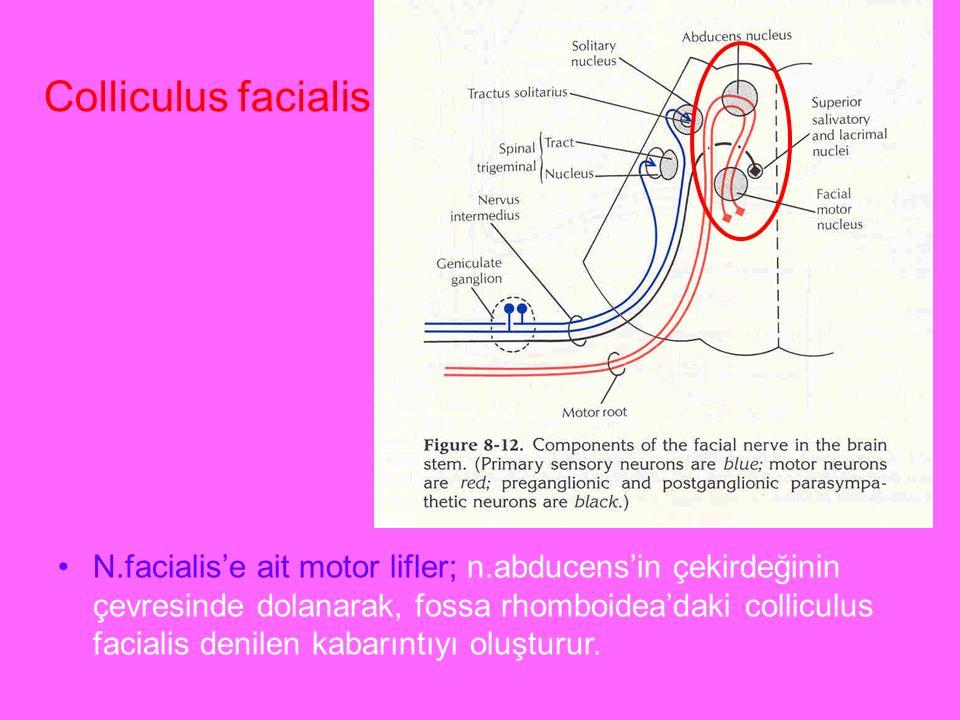 a N.facialis'e ait motor lifler; n.abducens'in çekirdeğinin çevresinde dolanarak, fossa rhomboidea'daki colliculus facialis denilen kabarıntıyı oluştu
