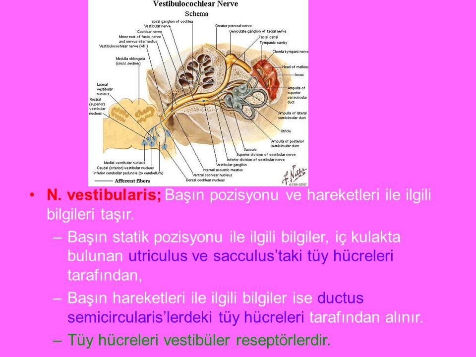 a N. vestibularis; Başın pozisyonu ve hareketleri ile ilgili bilgileri taşır. –Başın statik pozisyonu ile ilgili bilgiler, iç kulakta bulunan utriculu
