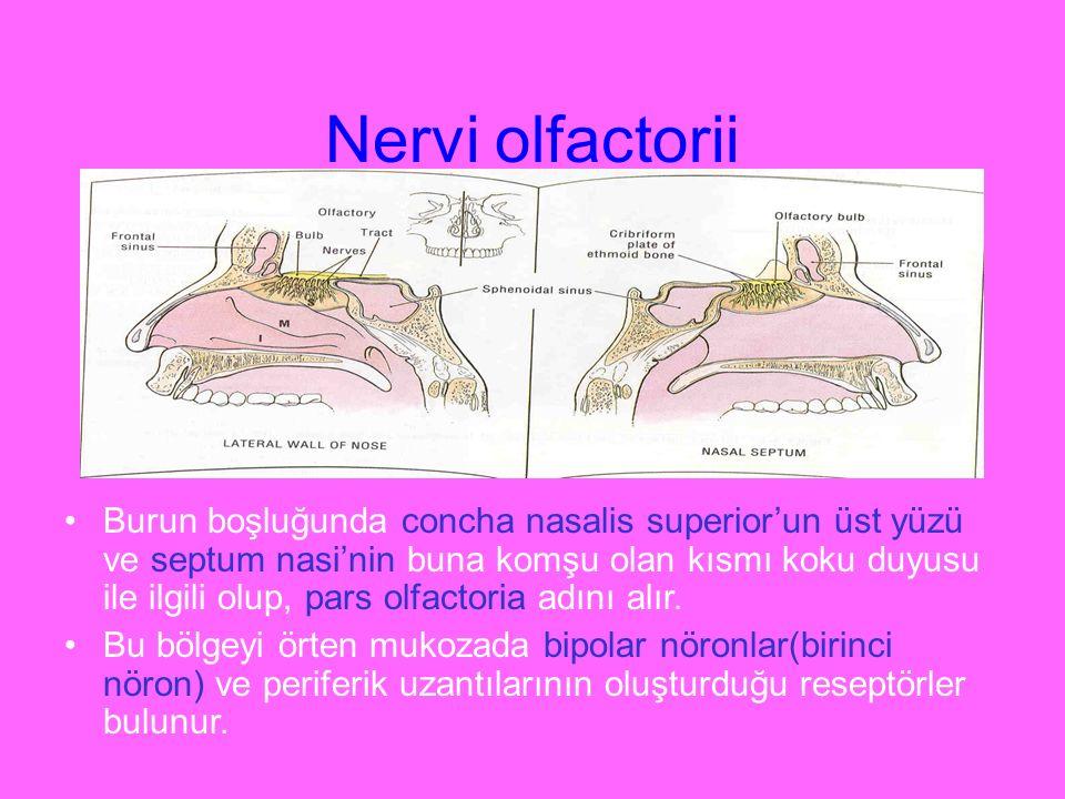 Nervi olfactorii Burun boşluğunda concha nasalis superior'un üst yüzü ve septum nasi'nin buna komşu olan kısmı koku duyusu ile ilgili olup, pars olfac