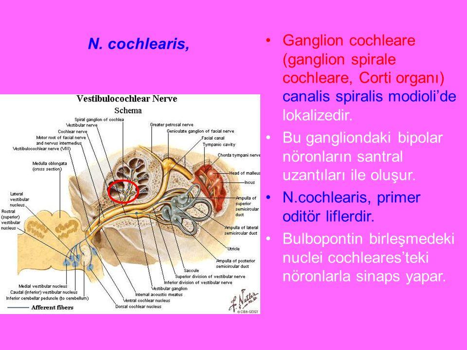 N. cochlearis, Ganglion cochleare (ganglion spirale cochleare, Corti organı) canalis spiralis modioli'de lokalizedir. Bu gangliondaki bipolar nöronlar