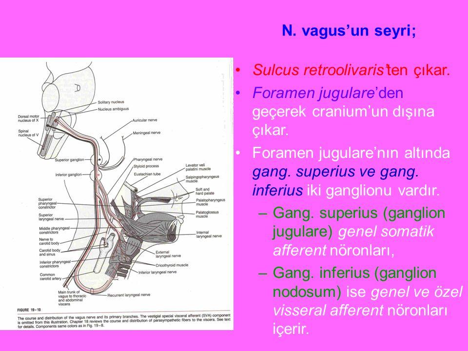 N. vagus'un seyri; Sulcus retroolivaris'ten çıkar. Foramen jugulare'den geçerek cranium'un dışına çıkar. Foramen jugulare'nın altında gang. superius v