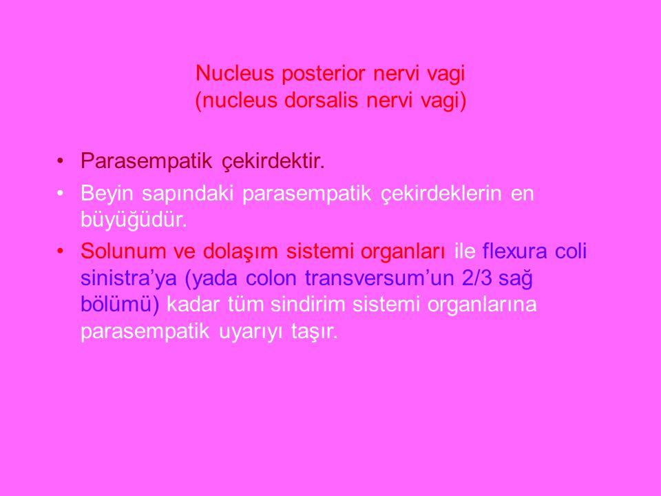 Nucleus posterior nervi vagi (nucleus dorsalis nervi vagi) Parasempatik çekirdektir. Beyin sapındaki parasempatik çekirdeklerin en büyüğüdür. Solunum