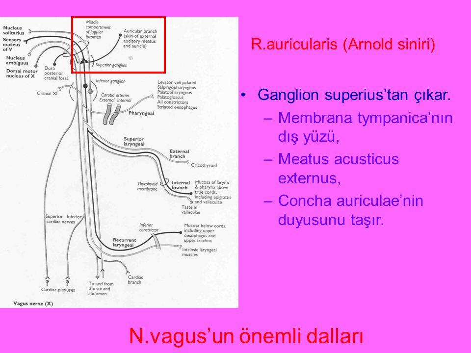 R.auricularis (Arnold siniri) Ganglion superius'tan çıkar. –Membrana tympanica'nın dış yüzü, –Meatus acusticus externus, –Concha auriculae'nin duyusun